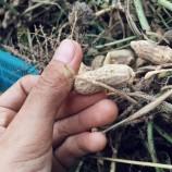 คณะเกษตร มรภ.สงขลา สอน นศ.ปลูกถั่วลิสง พืชเศรษฐกิจสารพัดประโยชน์